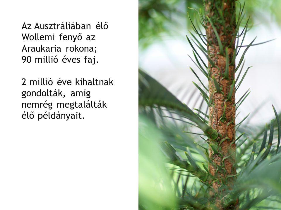 Az Ausztráliában élő Wollemi fenyő az Araukaria rokona; 90 millió éves faj.