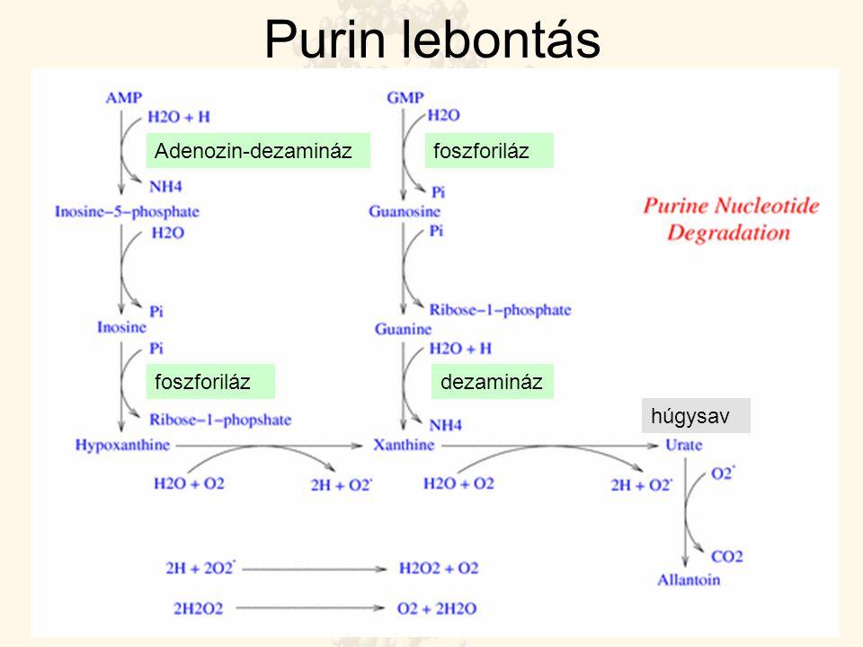 Purin lebontás Adenozin-dezamináz foszforiláz foszforiláz dezamináz