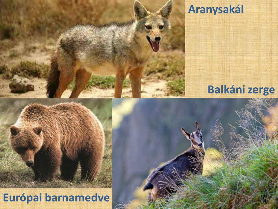 Aranysakál Balkáni zerge Európai barnamedve
