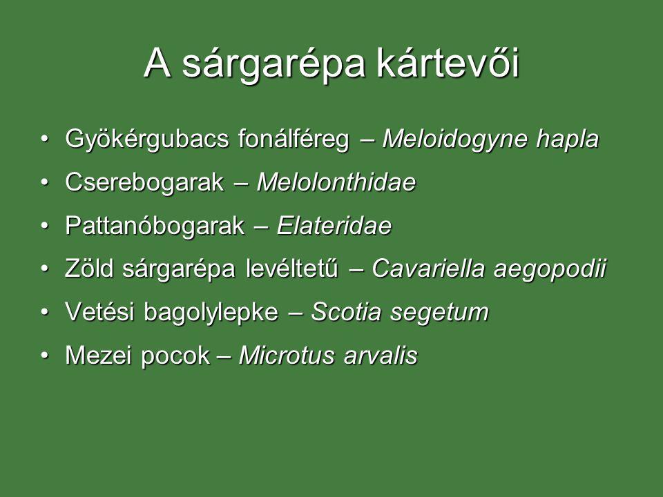 A sárgarépa kártevői Gyökérgubacs fonálféreg – Meloidogyne hapla