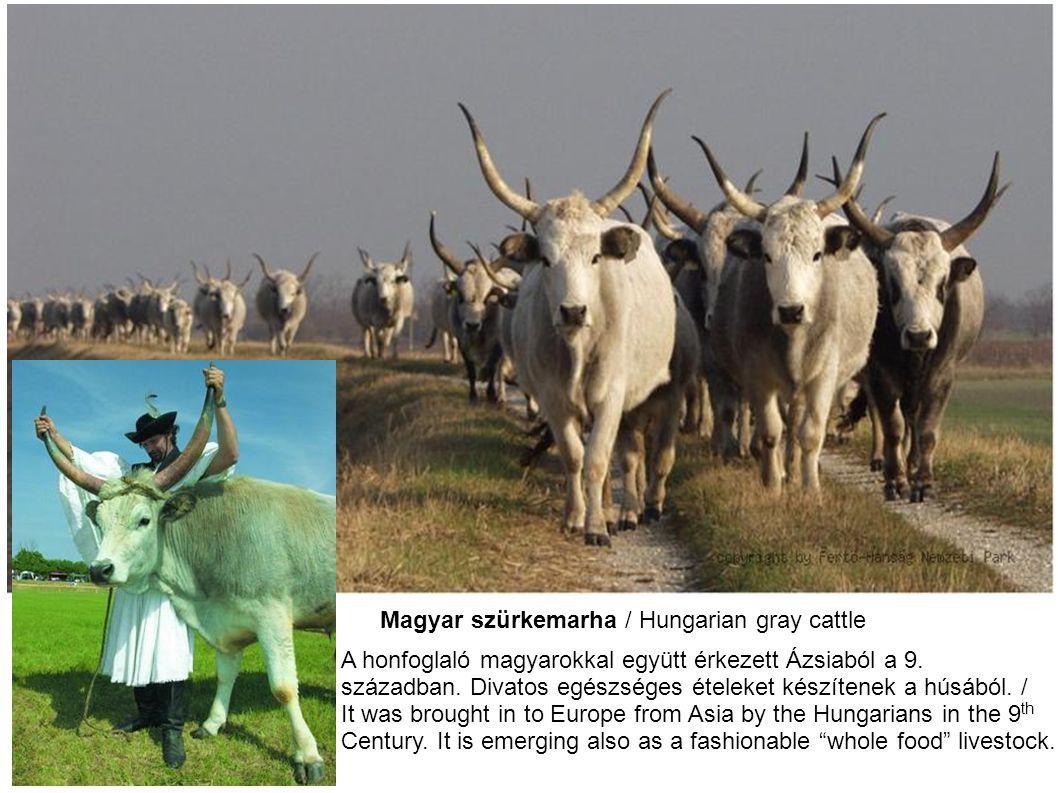 Magyar szürkemarha / Hungarian gray cattle