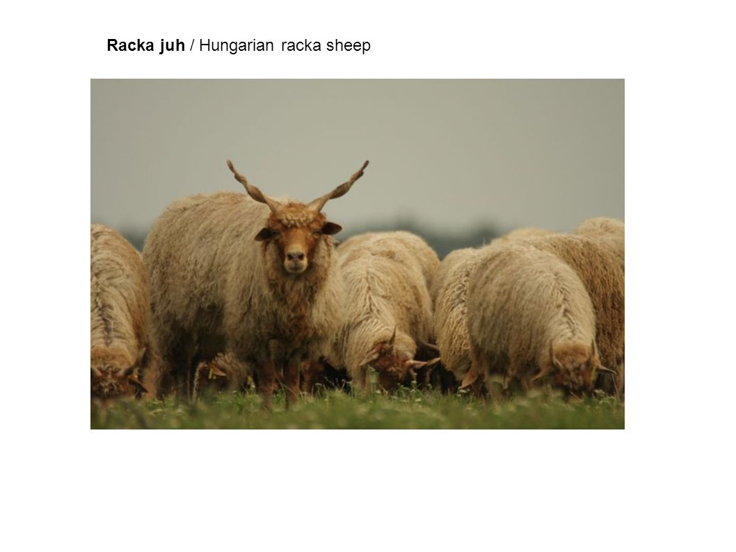 Racka juh / Hungarian racka sheep