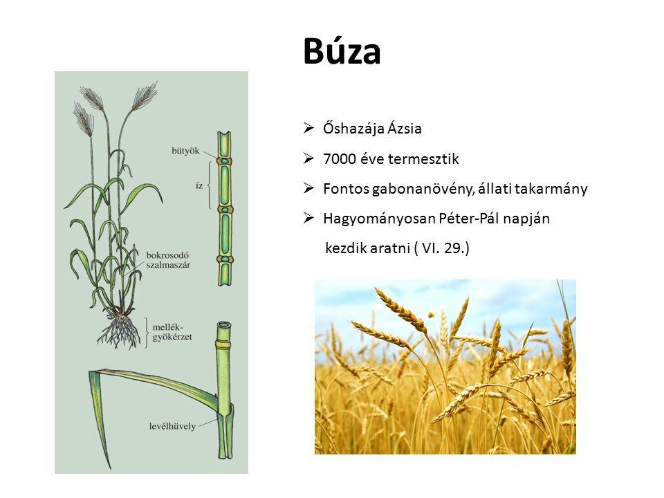 Búza Őshazája Ázsia 7000 éve termesztik