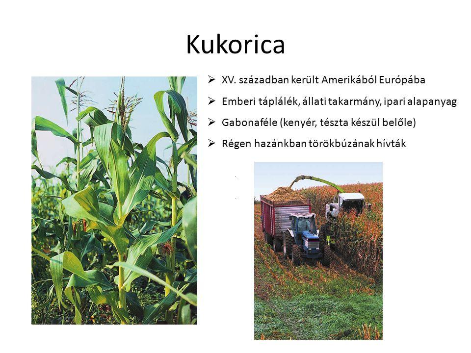 Kukorica XV. században került Amerikából Európába