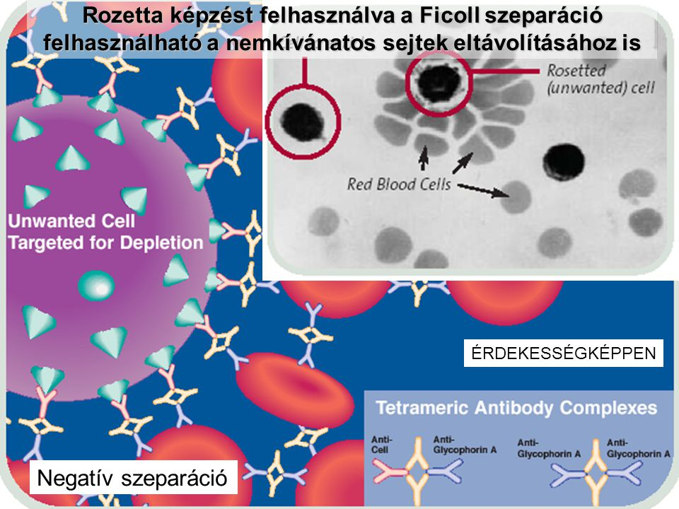 Rozetta képzést felhasználva a Ficoll szeparáció felhasználható a nemkívánatos sejtek eltávolításához is