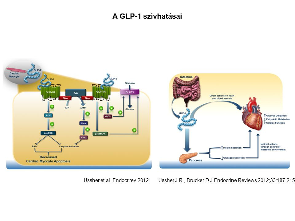 A GLP-1 szívhatásai ERK extracellular signal-regulated kinase
