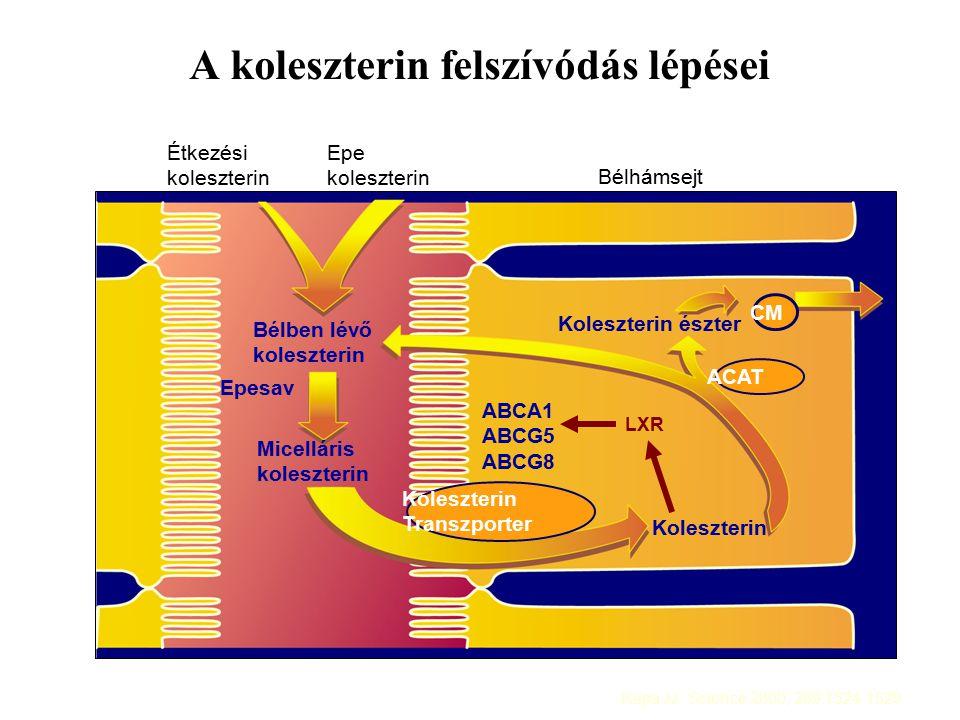 A koleszterin felszívódás lépései