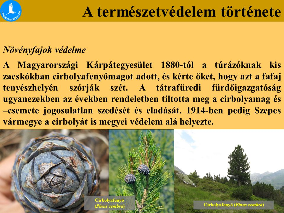 Cirbolyafenyő (Pinus cembra)