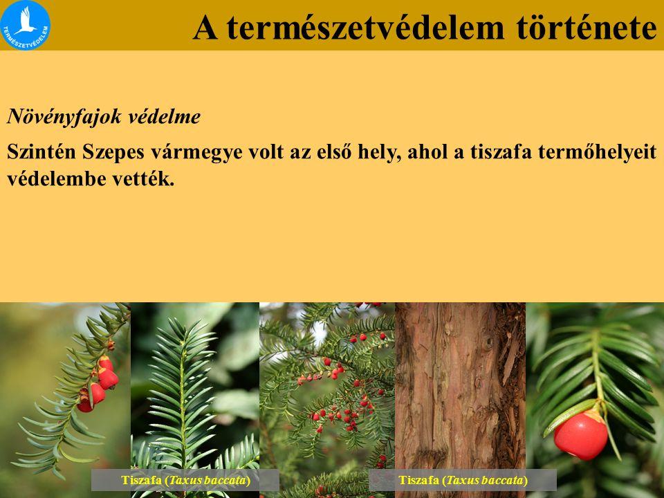 Tiszafa (Taxus baccata) Tiszafa (Taxus baccata)