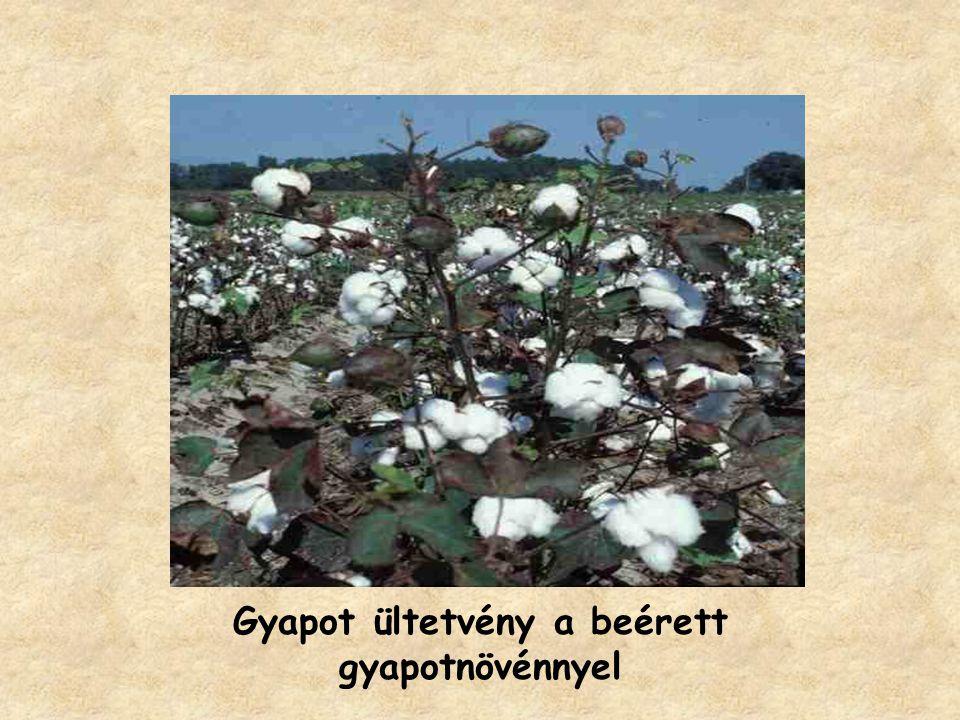 Gyapot ültetvény a beérett