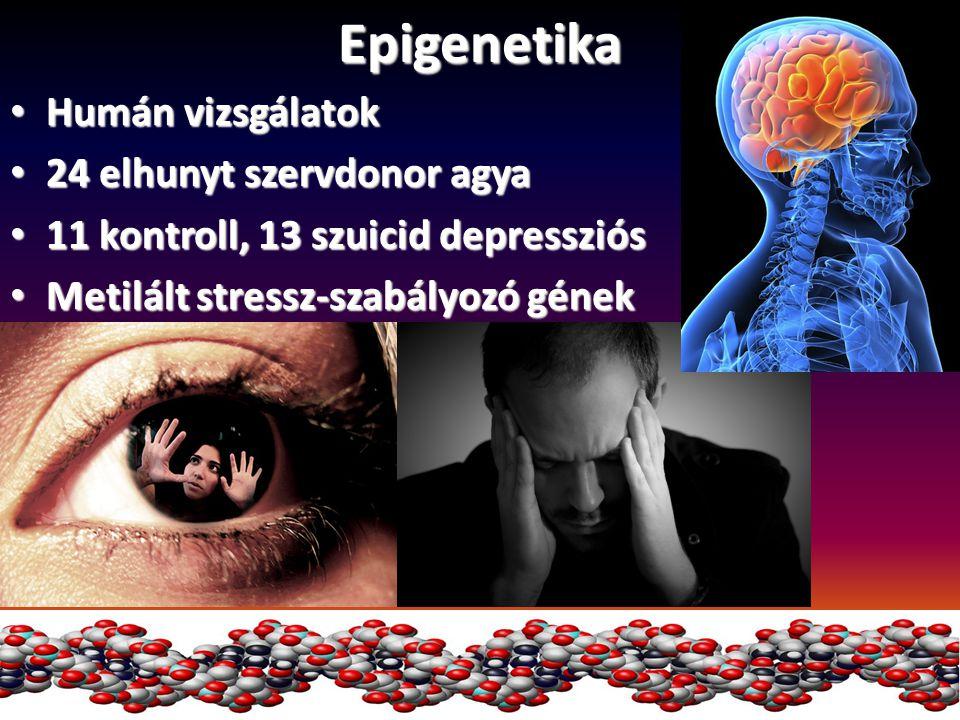 Epigenetika Humán vizsgálatok 24 elhunyt szervdonor agya