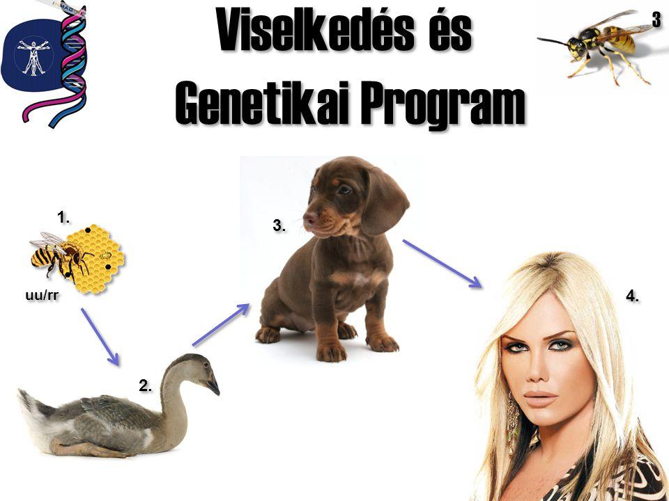 Viselkedés és Genetikai Program 3 1. 3. uu/rr 4. 2.
