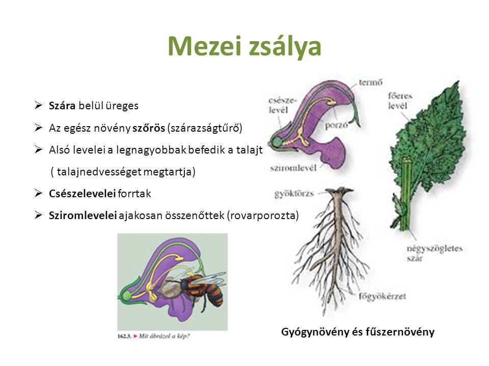 Mezei zsálya Szára belül üreges Az egész növény szőrös (szárazságtűrő)