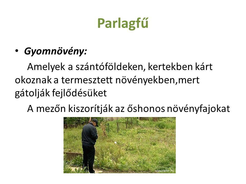 Parlagfű Gyomnövény: Amelyek a szántóföldeken, kertekben kárt okoznak a termesztett növényekben,mert gátolják fejlődésüket.