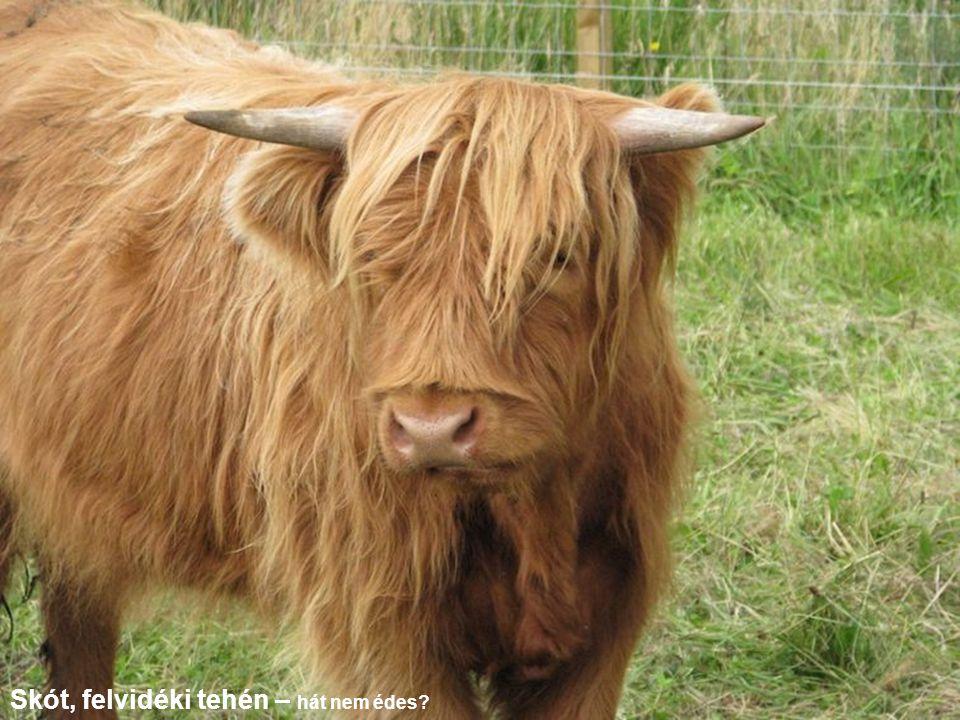 Skót, felvidéki tehén – hát nem édes