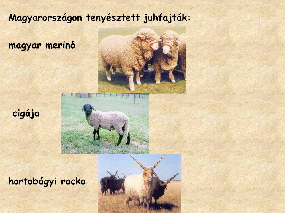 Magyarországon tenyésztett juhfajták:
