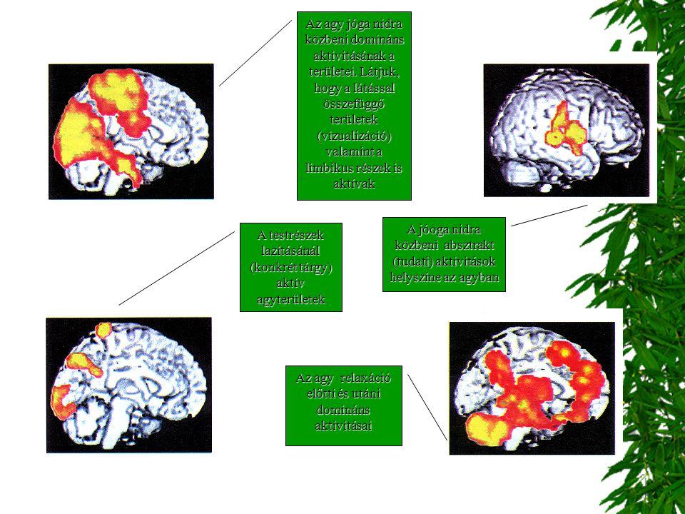 valamint a limbikus részek is aktívak