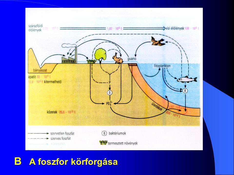 B A foszfor körforgása