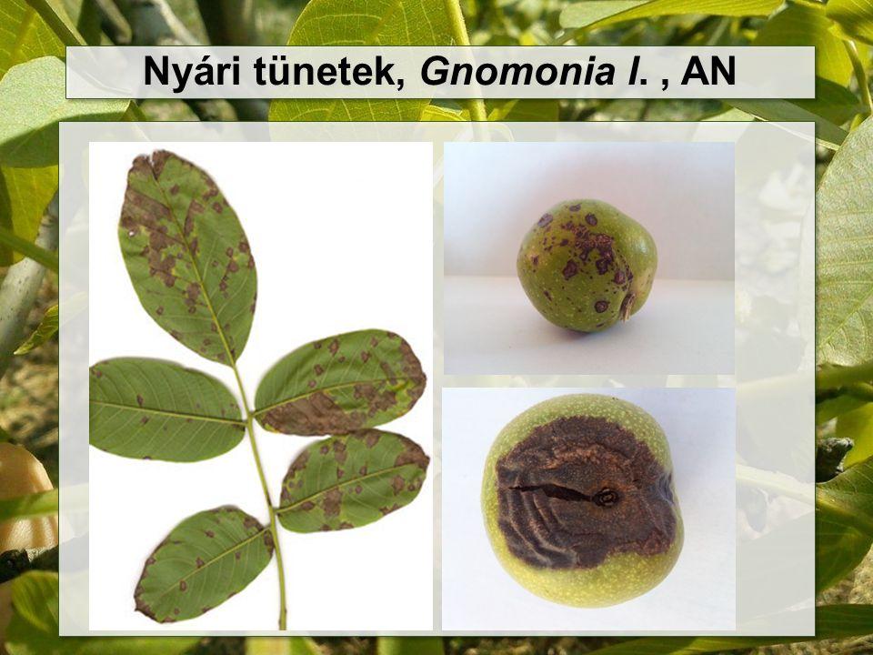 Nyári tünetek, Gnomonia l. , AN