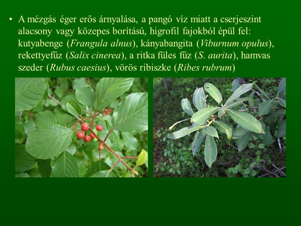 A mézgás éger erős árnyalása, a pangó víz miatt a cserjeszint alacsony vagy közepes borítású, higrofil fajokból épül fel: kutyabenge (Frangula alnus), kányabangita (Viburnum opulus), rekettyefűz (Salix cinerea), a ritka füles fűz (S.