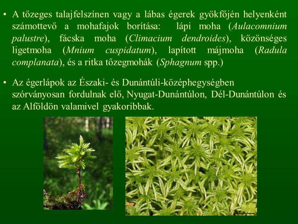A tőzeges talajfelszínen vagy a lábas égerek gyökfőjén helyenként számottevő a mohafajok borítása: lápi moha (Aulacomnium palustre), fácska moha (Climacium dendroides), közönséges ligetmoha (Mnium cuspidatum), lapított májmoha (Radula complanata), és a ritka tőzegmohák (Sphagnum spp.)