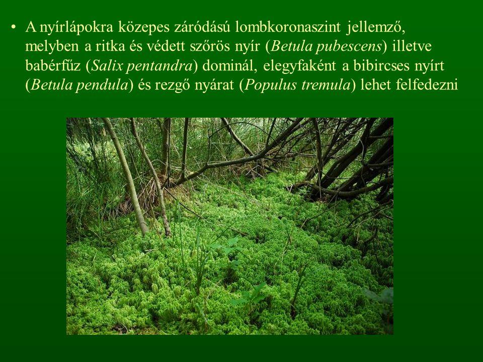 A nyírlápokra közepes záródású lombkoronaszint jellemző, melyben a ritka és védett szőrös nyír (Betula pubescens) illetve babérfűz (Salix pentandra) dominál, elegyfaként a bibircses nyírt (Betula pendula) és rezgő nyárat (Populus tremula) lehet felfedezni