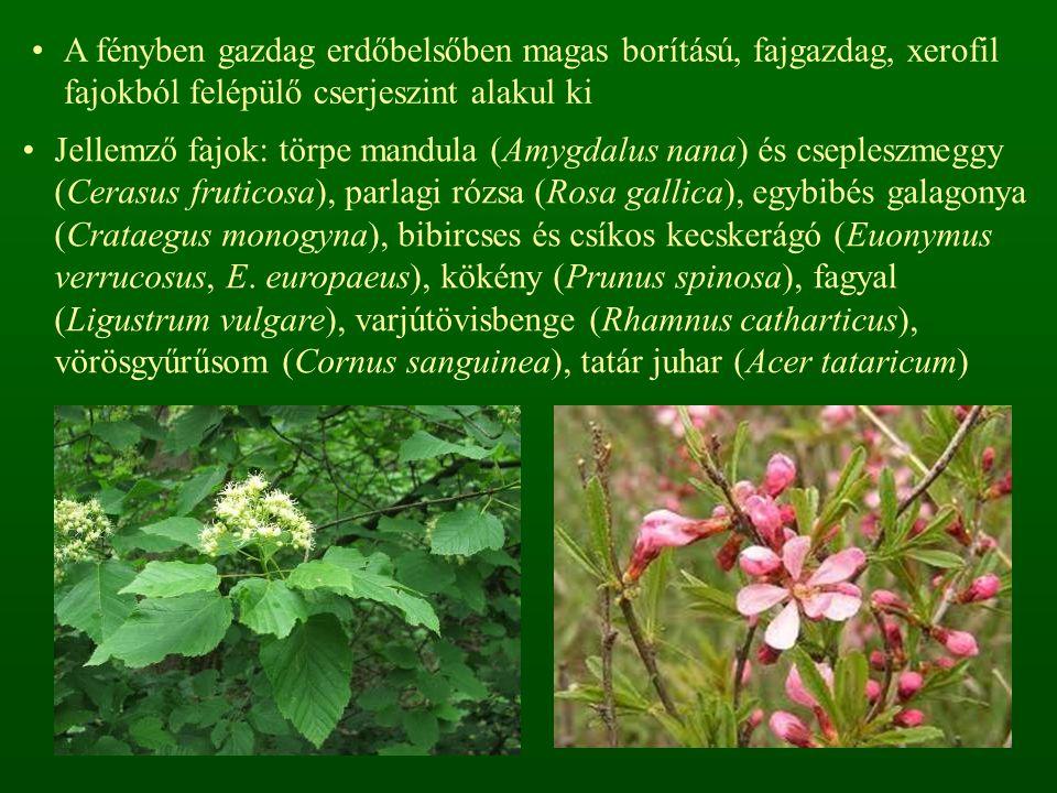 A fényben gazdag erdőbelsőben magas borítású, fajgazdag, xerofil fajokból felépülő cserjeszint alakul ki