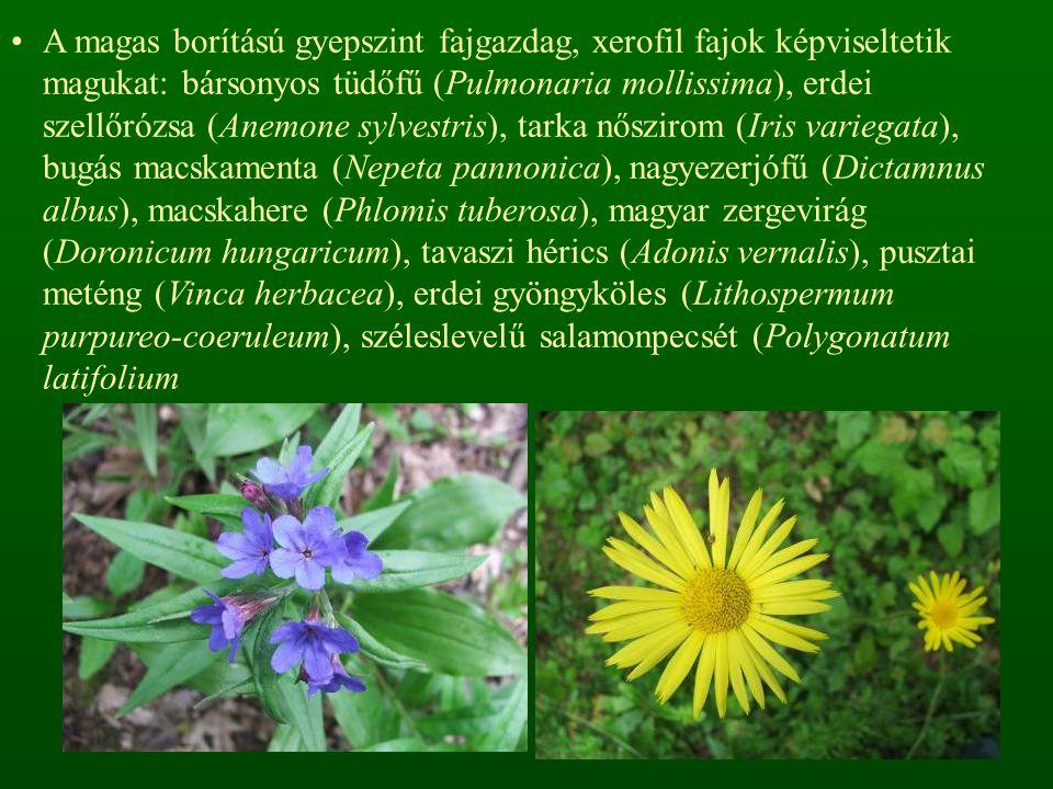 A magas borítású gyepszint fajgazdag, xerofil fajok képviseltetik magukat: bársonyos tüdőfű (Pulmonaria mollissima), erdei szellőrózsa (Anemone sylvestris), tarka nőszirom (Iris variegata), bugás macskamenta (Nepeta pannonica), nagyezerjófű (Dictamnus albus), macskahere (Phlomis tuberosa), magyar zergevirág (Doronicum hungaricum), tavaszi hérics (Adonis vernalis), pusztai meténg (Vinca herbacea), erdei gyöngyköles (Lithospermum purpureo-coeruleum), széleslevelű salamonpecsét (Polygonatum latifolium