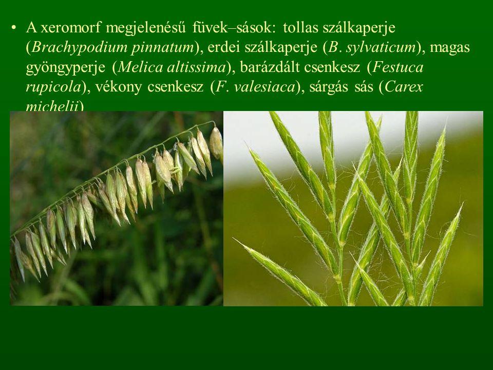 A xeromorf megjelenésű füvek–sások: tollas szálkaperje (Brachypodium pinnatum), erdei szálkaperje (B.