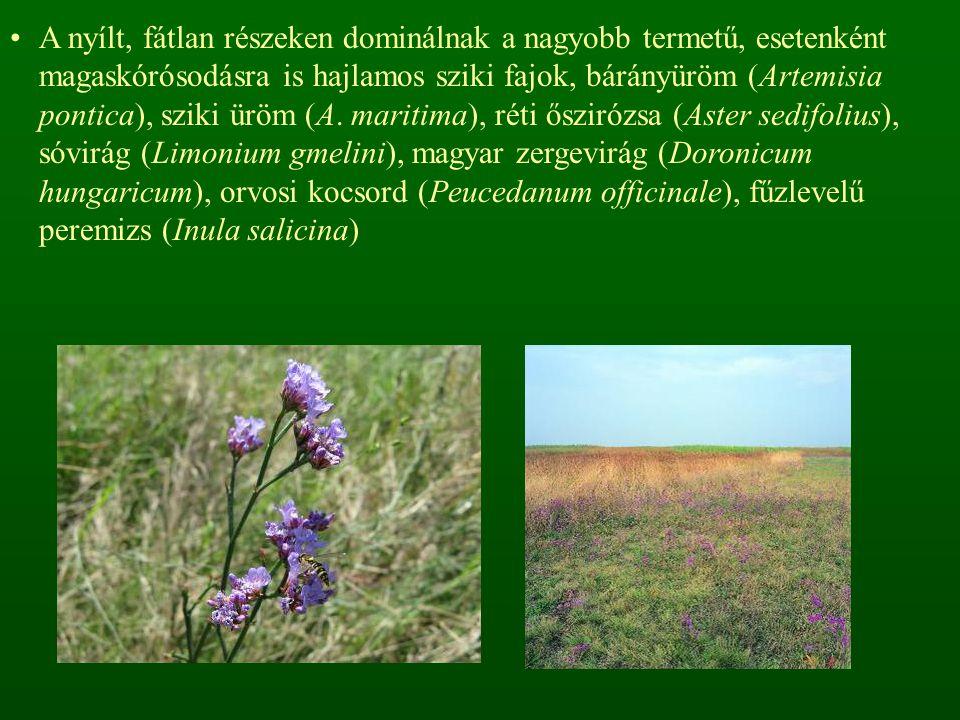 A nyílt, fátlan részeken dominálnak a nagyobb termetű, esetenként magaskórósodásra is hajlamos sziki fajok, bárányüröm (Artemisia pontica), sziki üröm (A.