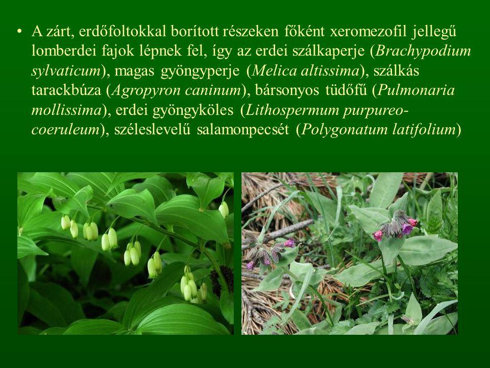 A zárt, erdőfoltokkal borított részeken főként xeromezofil jellegű lomberdei fajok lépnek fel, így az erdei szálkaperje (Brachypodium sylvaticum), magas gyöngyperje (Melica altissima), szálkás tarackbúza (Agropyron caninum), bársonyos tüdőfű (Pulmonaria mollissima), erdei gyöngyköles (Lithospermum purpureo-coeruleum), széleslevelű salamonpecsét (Polygonatum latifolium)