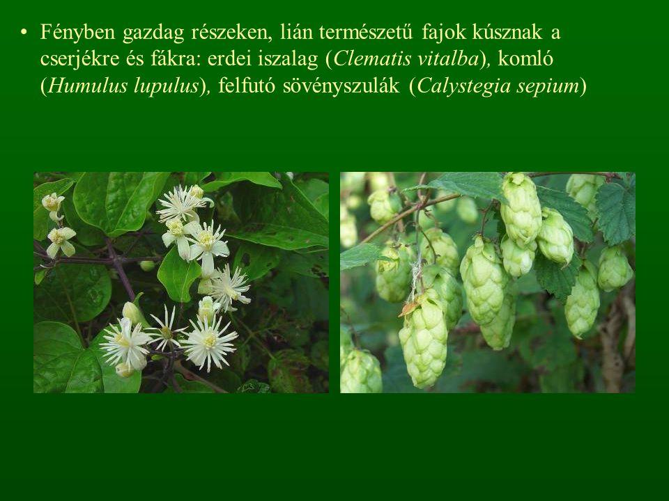 Fényben gazdag részeken, lián természetű fajok kúsznak a cserjékre és fákra: erdei iszalag (Clematis vitalba), komló (Humulus lupulus), felfutó sövényszulák (Calystegia sepium)