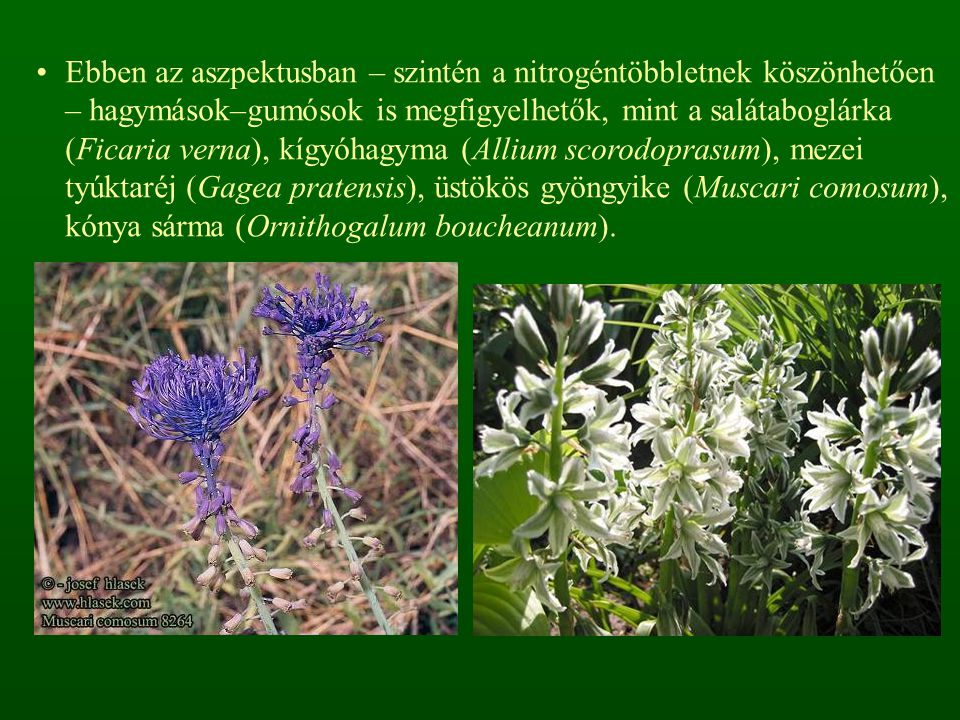 Ebben az aszpektusban – szintén a nitrogéntöbbletnek köszönhetően – hagymások–gumósok is megfigyelhetők, mint a salátaboglárka (Ficaria verna), kígyóhagyma (Allium scorodoprasum), mezei tyúktaréj (Gagea pratensis), üstökös gyöngyike (Muscari comosum), kónya sárma (Ornithogalum boucheanum).