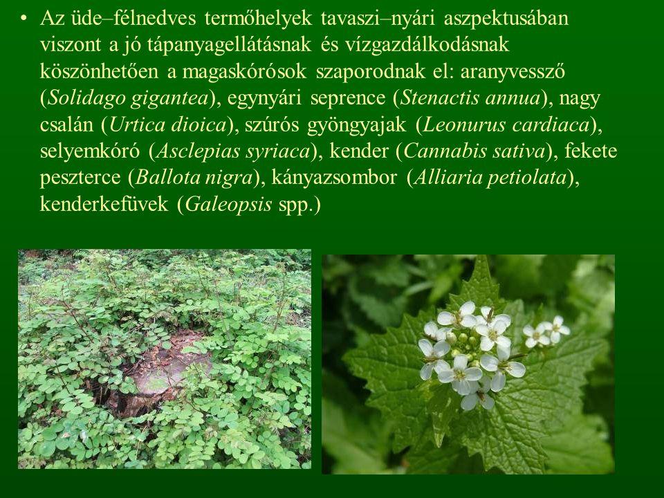 Az üde–félnedves termőhelyek tavaszi–nyári aszpektusában viszont a jó tápanyagellátásnak és vízgazdálkodásnak köszönhetően a magaskórósok szaporodnak el: aranyvessző (Solidago gigantea), egynyári seprence (Stenactis annua), nagy csalán (Urtica dioica), szúrós gyöngyajak (Leonurus cardiaca), selyemkóró (Asclepias syriaca), kender (Cannabis sativa), fekete peszterce (Ballota nigra), kányazsombor (Alliaria petiolata), kenderkefüvek (Galeopsis spp.)