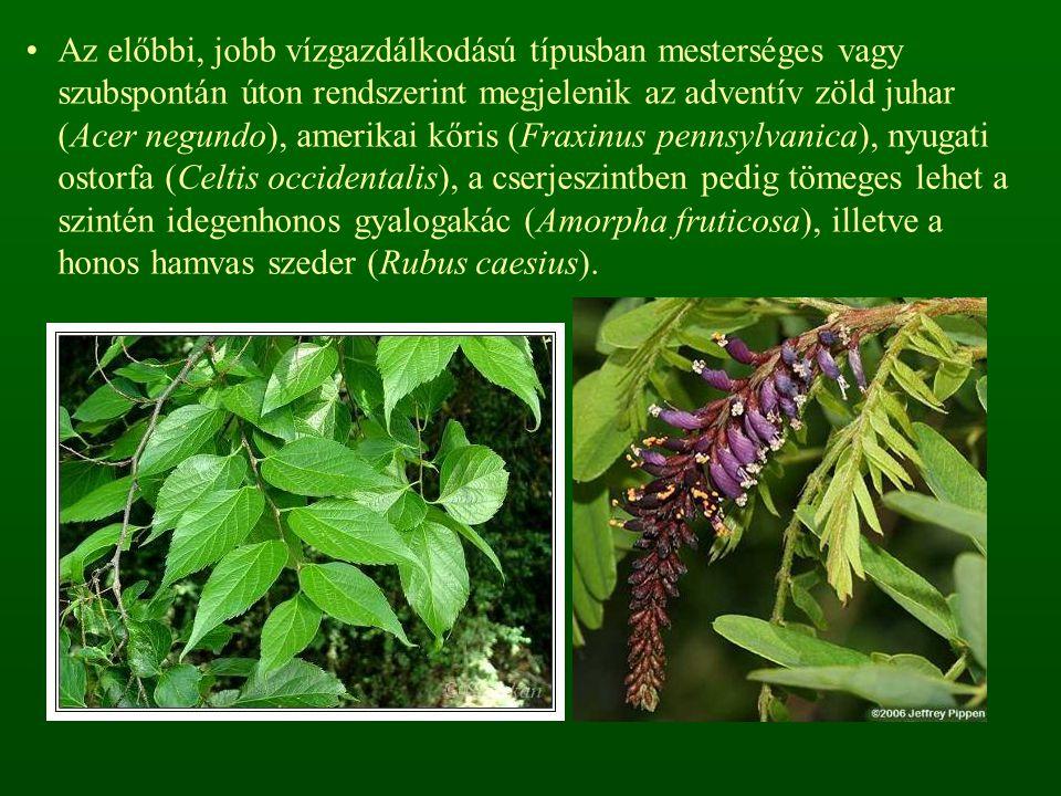 Az előbbi, jobb vízgazdálkodású típusban mesterséges vagy szubspontán úton rendszerint megjelenik az adventív zöld juhar (Acer negundo), amerikai kőris (Fraxinus pennsylvanica), nyugati ostorfa (Celtis occidentalis), a cserjeszintben pedig tömeges lehet a szintén idegenhonos gyalogakác (Amorpha fruticosa), illetve a honos hamvas szeder (Rubus caesius).