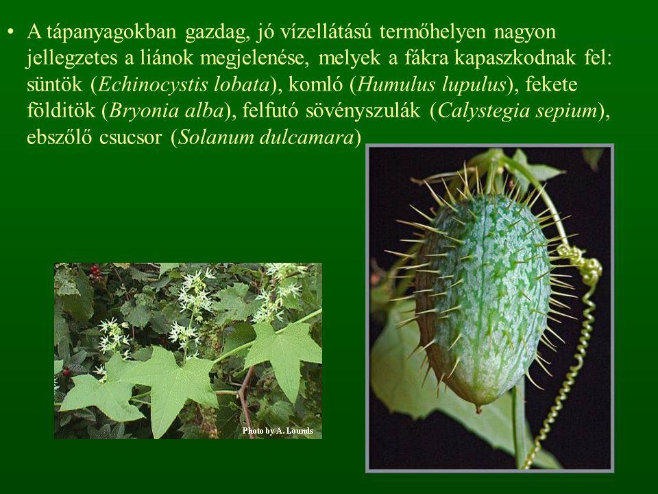 A tápanyagokban gazdag, jó vízellátású termőhelyen nagyon jellegzetes a liánok megjelenése, melyek a fákra kapaszkodnak fel: süntök (Echinocystis lobata), komló (Humulus lupulus), fekete földitök (Bryonia alba), felfutó sövényszulák (Calystegia sepium), ebszőlő csucsor (Solanum dulcamara)