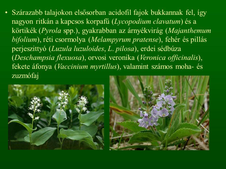 Szárazabb talajokon elsősorban acidofil fajok bukkannak fel, így nagyon ritkán a kapcsos korpafű (Lycopodium clavatum) és a körtikék (Pyrola spp.), gyakrabban az árnyékvirág (Majanthemum bifolium), réti csormolya (Melampyrum pratense), fehér és pillás perjeszittyó (Luzula luzuloides, L.