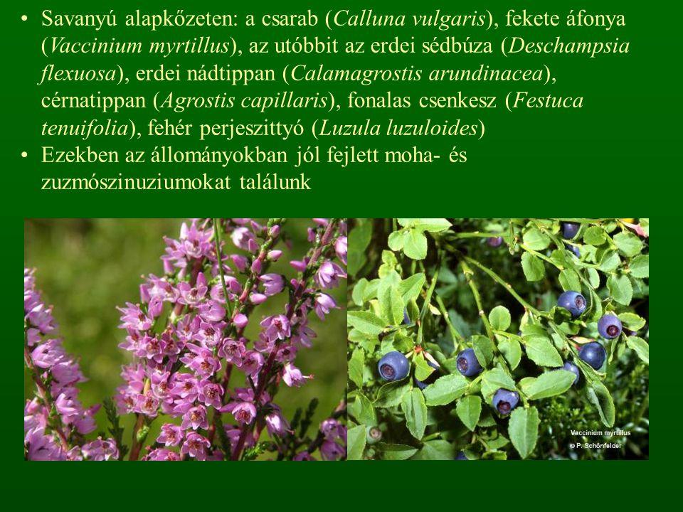 Savanyú alapkőzeten: a csarab (Calluna vulgaris), fekete áfonya (Vaccinium myrtillus), az utóbbit az erdei sédbúza (Deschampsia flexuosa), erdei nádtippan (Calamagrostis arundinacea), cérnatippan (Agrostis capillaris), fonalas csenkesz (Festuca tenuifolia), fehér perjeszittyó (Luzula luzuloides)