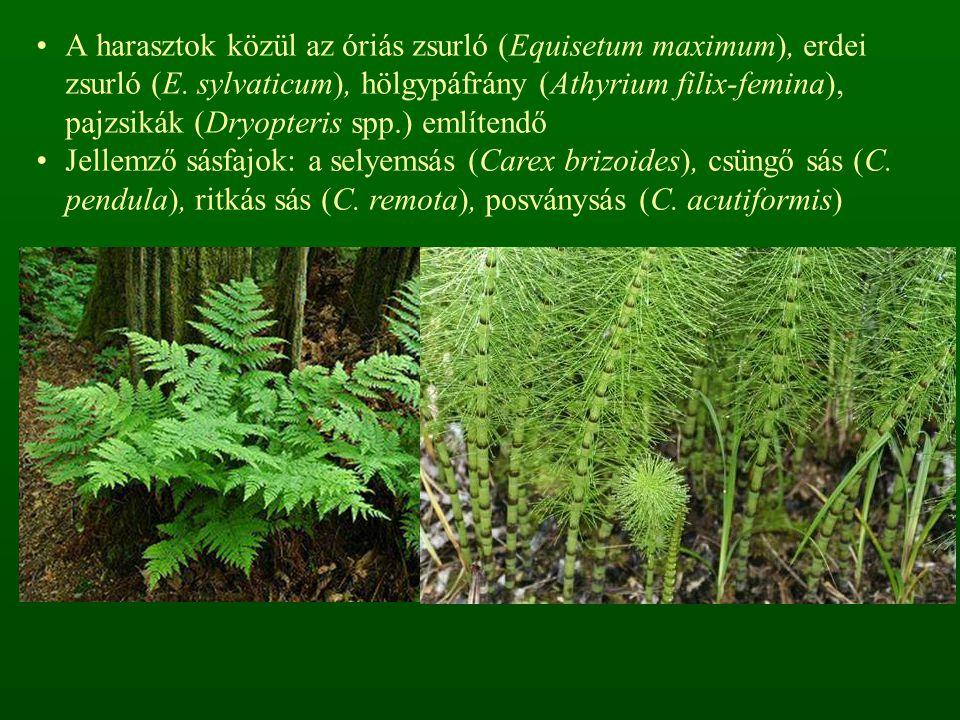 A harasztok közül az óriás zsurló (Equisetum maximum), erdei zsurló (E