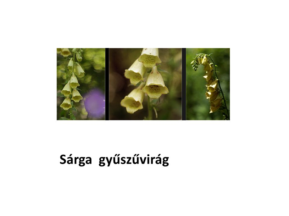 Sárga gyűszűvirág