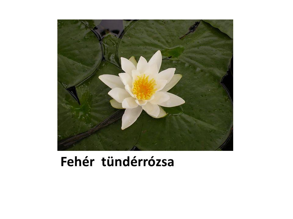 Fehér tündérrózsa