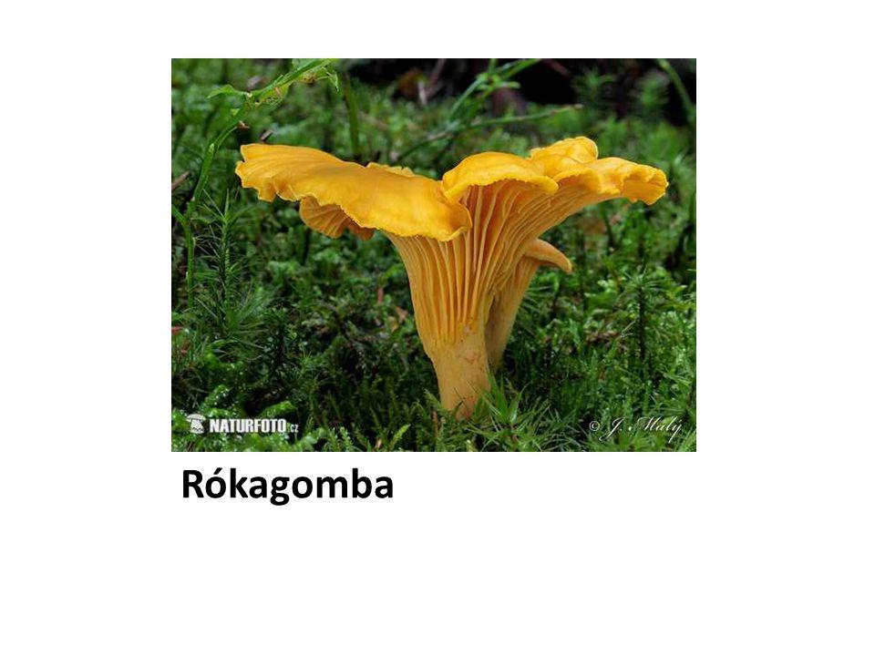 Rókagomba