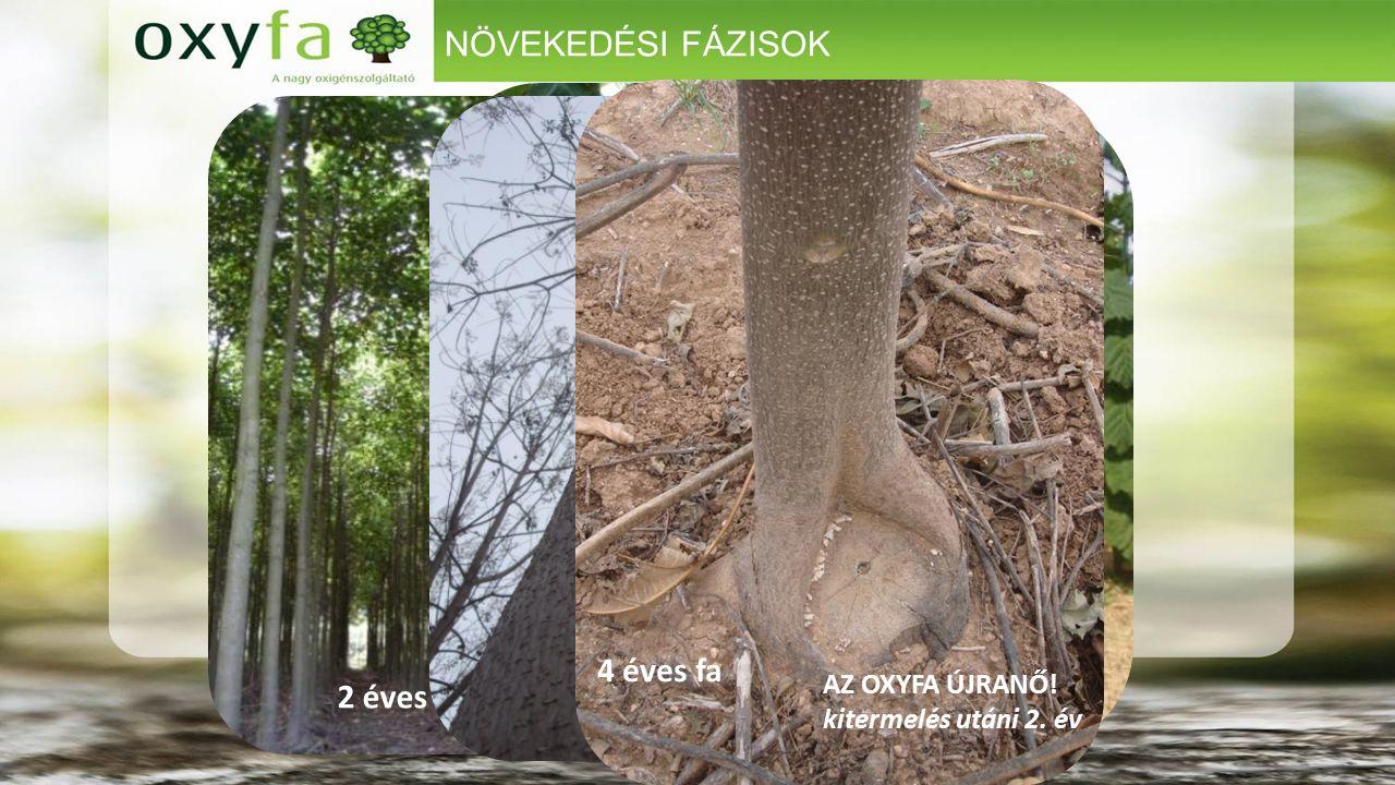 NÖVEKEDÉSI FÁZISOK 4 HÓNAPOS OXYFÁK 4 éves fa (visszavágás előtt).