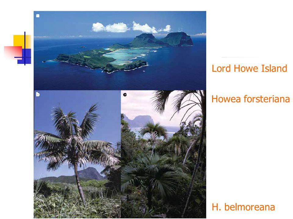 Lord Howe Island Howea forsteriana H. belmoreana