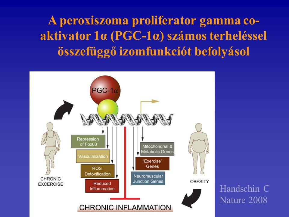 A peroxiszoma proliferator gamma co-aktivator 1α (PGC-1α) számos terheléssel összefüggő izomfunkciót befolyásol