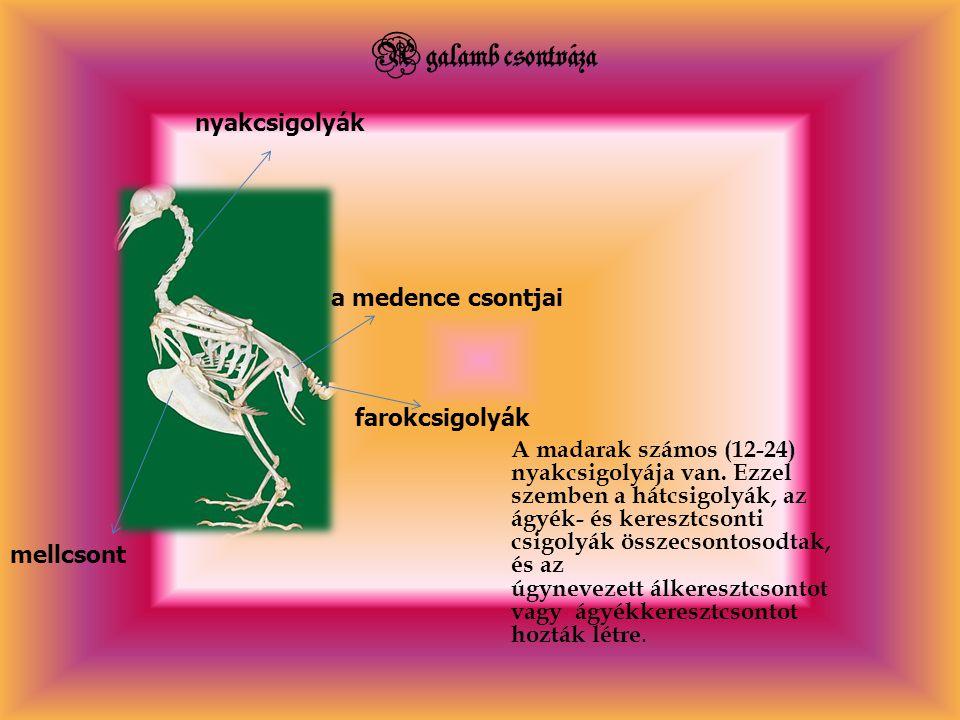 A galamb csontváza nyakcsigolyák a medence csontjai farokcsigolyák