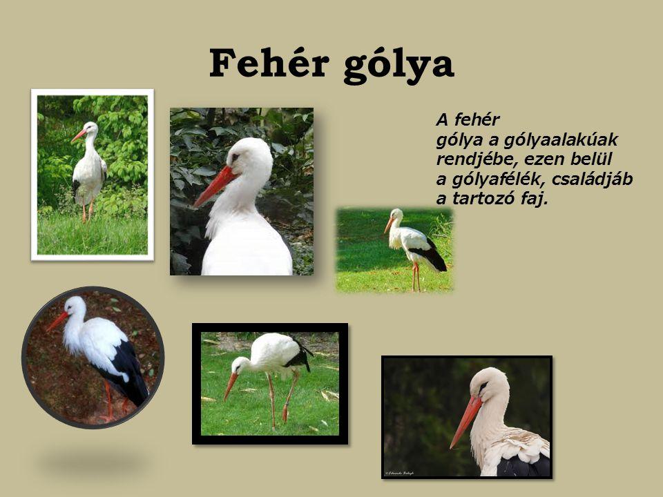 Fehér gólya A fehér gólya a gólyaalakúak rendjébe, ezen belül a gólyafélék, családjába tartozó faj.