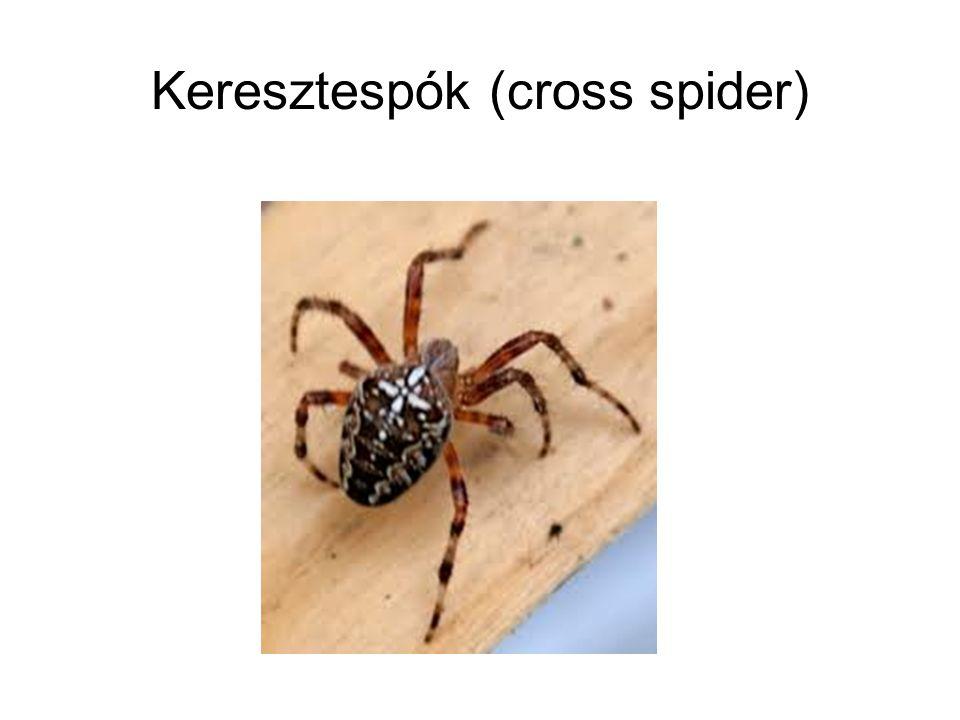 Keresztespók (cross spider)