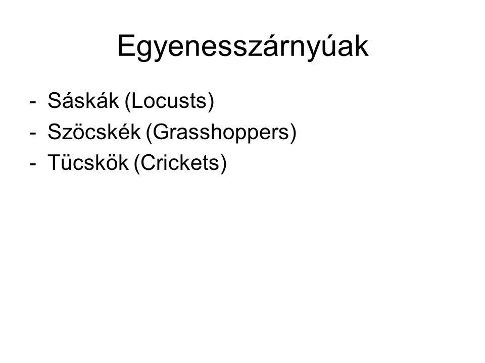 Egyenesszárnyúak Sáskák (Locusts) Szöcskék (Grasshoppers)