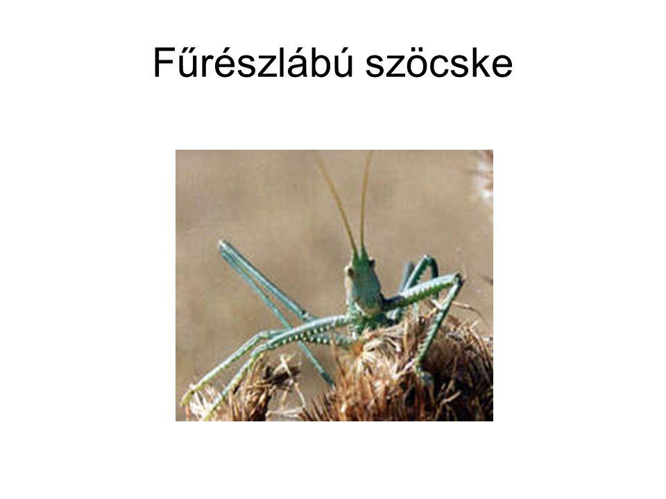 Fűrészlábú szöcske